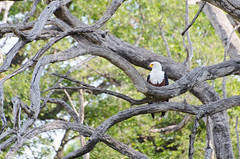 Schreiseeadler / African Fish Eagle (brainstorm1984) Tags: wildlife safari botswana moremigamereserve africanfisheagle haliaeetusvocifer okavangodelta schreiseeadler campmoremi moremiwildreservat desertdeltasafaris elangeniafricanadventures