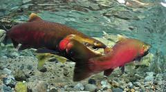 Attack (Fish as art) Tags: lax alaskasalmon saumon fisheries lohi unterwasserfotografie cohosalmon salmonrivers britishcolumbiasalmon salmonids underwaterphotographypaulvecsei cohounderwater bestefiskfotografering