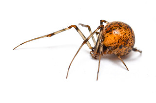 Common House Spider - ♀