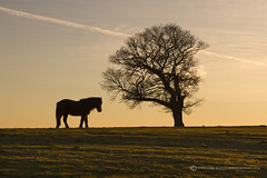 NEW FOREST PONY (mark_rutley) Tags: sunset horse tree silhouette pony newforest lonelytree thenewforest thelonetree