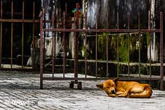 Hue Tombs 18 (hughderr) Tags: travel orange dog puppy flickr nap tan vietnam adventure sleepy imperial hue royalty tombs natgeo wanderrlust