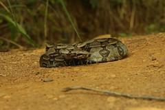 jiboia-constritora (Boa constrictor) (3936) (Jorge Belim) Tags: fauna 70200 canoneos50d