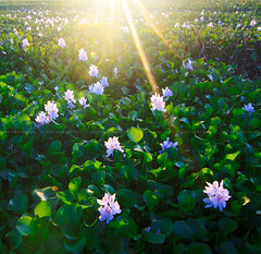 Water hyacinth flower illuminated with sunlight (Macbrian Mun) Tags: park light wild summer plants sun white lake plant abstract flower color green nature water floral beautiful beauty leaves yellow garden season landscape petals pond day ray waterlily lily purple lotus blossom outdoor background exotic tropical bloom environment aquatic float botany ornamental sunbeam hyacinth sunray blooming waterplant waterhyacinth eichornia crassipes