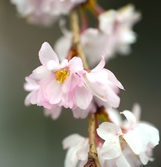 Fudan Sakura (love_child_kyoto) Tags: winter flower macro tree nature spring kyoto   cherryblossoms      fullbloom cherryflowers  masterphotos artisticflowers takenwithlove  mindigtopponalwaysontop lovelyflickr   takenwithhardwork oikesakura fudansakura