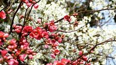 Fleurs de cognassier du Japon sur fond de fleurs de prunier (vanaspati1) Tags: flower tree fleurs du sprint arbre japonica printemps japon chaenomeles rosaceae arbustes cognassier meulon vanaspati1
