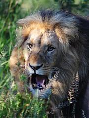 For A Roaring Sunday ! (AnyMotion) Tags: africa travel portrait male nature animal animals cat southafrica tiere reisen wildlife ngc lion portrt npc afrika katze limpopo lwe 2014 pantheraleo anymotion canoneos5dmarkii 5d2 karongwegamereserve