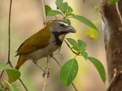 Saltator maximus (Jorge Sols Campos) Tags: wild naturaleza bird nature animal costarica ave wildanimal pjaro salvaje animalsalvaje prezzeledn