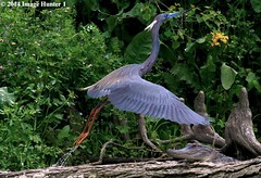 Tri-colored Heron / Alligator (Image Hunter 1) Tags: blue flower tree green bird nature water leaves drops wings log bush louisiana reptile wildlife flight alligator brush bayou swamp stump greenery marsh takeoff wingspan wingspread canoneos7d lliftoff