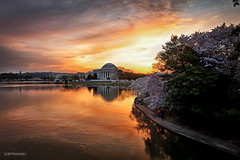 Jefferson Memorial Sunrise (AS3A6593-sig) (Scott Fracasso Photography) Tags: monument festival sunrise scott cherry dc washington memorial blossom blossoms basin cherryblossoms jefferson tidal tidalbasin fracasso