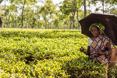 Assam_073 (SaurabhChatterjee) Tags: assam countryside guwahati httpsiaphotographyin india lakhimpur rural saurabhchatterjee siaphotography tea teagardens tezpur village