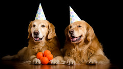 Happy Birthday Zachary 10/52 (bztraining) Tags: dogchal henry odc zachary bzdogs bztraining golden retriever 3652017 52weeksfordogs