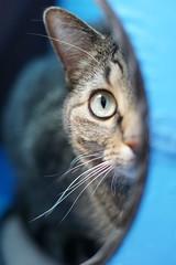 One of my Favorite Things - Week 12 (lcams) Tags: week12201752weeksthe2017edition 52 weeks 52weeksin2017 cats pets animal tabby favoritethings