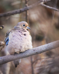 RG_356 (亞雲 Ed Lee) Tags: nikon d600 200500mm 56e outdoor spring cold color contrast bokeh depthoffield branch avian bird mourning dove closeup zoom cute feather fluff richmond green park morning tree