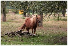 Pony | Пони (Dit is Suzanne) Tags: 18092016 img4885 nederland netherlands нидерланды limburg лимбург ©ditissuzanne canoneos40d sigma18250mm13563hsm wandeling walk прогулка langeafstandswandeling longdistancewalk pieterpad питерпад law9 nazomer indiansummer бабьелето путешествуяпонидерландам ontheroadinthenetherlands onderweginnederland etappe9 houthuizentegelen хаутхёйзентегелен veldenvenlo велденвенло langsdemaas alongtherivermaas вдольрекимаас paard horse лошадь pony пони views50