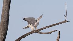 Faucon gerfaut_2A5A1493v2 (d.jauvin) Tags: faucon rapace québec baiedufebvre faucongerfaut gyrfalcon falcorusticolus