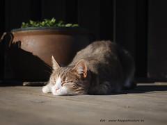 20170402103983 (koppomcolors) Tags: koppomcolors katt cat