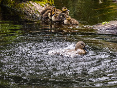 The Swimming Lesson Was a Failure (Steve Taylor (Photography)) Tags: splashing log bird duck duckling tree bark newzealand nz southisland canterbury christchurch all