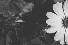 Les Fleurs du mal / Las flores del mal (Art Dino) Tags: lima perú lesfleursdumal lasfloresdelmal charlesbaudelaire baudelaire sonyslta58 sony fotodeautor fotosdeautor fotografíadeautor authorsphotograph artdino dinobokeh twitter twitterdinobokeh srgb angulocenital planodetalle primavera spring miraflores blackandwhite blancoynegro fotografíaartística fotografíaartísticacontemporánea arteconceptual conceptualart feelings emotions onírico oneiric poema poesía poem poetry ƒ71 adobephotoshopcc2015 photoshop adobephotoshoplightroom60 lightroom presets preset silversurfer