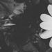 Les+Fleurs+du+mal+%2F+Las+flores+del+mal