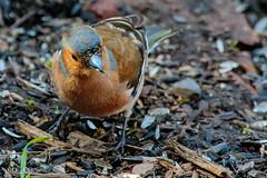 Chaffinch at Pennington (1 of 1) (g8196895) Tags: chaffinch pennington outdoors bird nature wildlife