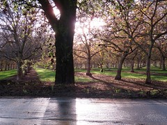 the sun sets (Black Cat Bazaar) Tags: settingsun cloudy sunbeam orchard eveninglight trees branches walnut oaktree shadows rainyday california ca chico nord
