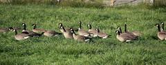 Cackling geese (Viktor Vandereyk) Tags: geese