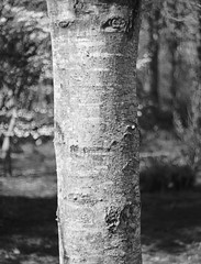 Serving Up Stories For The Future (Trippin' all over the place) Tags: tree bark park nature landsape plant missoiuri stcharles panasonic lumix gx7 m43 mirrorless manuallens manualfocus topazlabs nik black white