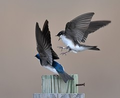Pair of Tree Swallows (KoolPix) Tags: treeswallow bird swallow wings beak feathers koolpix jaykoolpix naturephotography jay nature wildlife wildlifephotos naturephotos naturephotographer animalphotographer wcswebsite nationalgeographic fantasticnature amazingnature wonderfulbirdphotos animal amazingwildlifephotos fantasticnaturephotos incrediblenature mothernature