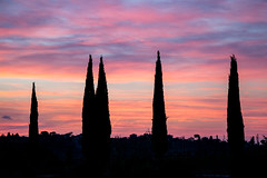 The end of the day of the Triffids (phacelias) Tags: cipressen cypresses cipressi sunset zonsondergang tramonto coloredsky cielocolorato gekleurdelucht silhouetten silhouettes sagome sky cielo lucht