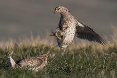 Sharptail Grouse-37-2 (buskirktim) Tags: sharptail grouse nebraska wildlife birds