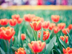 000044840014 (matthew_image) Tags: 80mm f28 mamiya m645 645 1000s film kodak portra 160 iso iso160 filmisnotdead films portra160 flower flowers hong kong hongkong hk hongkonger color colours colour colorful colors colourful