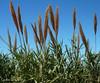 plumeros en el huerto (carlosjunquero) Tags: plumeros huerto