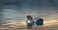 Less Is More (rishaisomphotography) Tags: duck waterfowl bird water outdoors nature naturephotographer kodiak alaska wildlife wildlifephotography