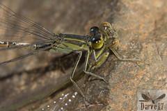 Ischnura saharensis ( BlezSP) Tags: saharabluetail ischnurasaharensis grancanaria damselfly odonata canarias depredación canibalismo