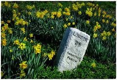 Milestone (Stephen Braund) Tags: daffodil spring milestone flower