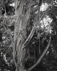 eucalyptus (OhDark30) Tags: olympus 35rc 35 rc 35mm film monochrome bw blackandwhite bwfp fomapan 200 rodinal tree eucalyptus peeling bark