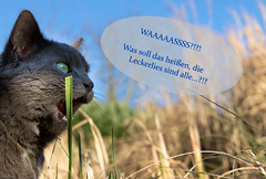 WHAAAATTTTT?!? (Aufklatscher) Tags: katze cat spass fun leckerlies treats siva grau grey entsetzt shocked chat funny green grüneaugen greeneyes grün animal tier haustier pet garten garden drausen outdoor sunshine