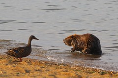 Beaver and Duck (Piedmont Fossil) Tags: sandypoint state park maryland beaver mammal wildlife bird duck chesapeake bay