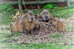 Capybara (DjacksonXZPhotography) Tags: capybara mammal rodent chesterzoo zoophotography zooanimals chester
