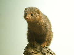Dwarf Mongoose 2 (dennisgg2002) Tags: bronx zoo new york city ny nyc