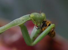 IMG_6604 (Daniel Menzies) Tags: prayingmantis insect macro prey predator food compoundeyes mantis wildlife animal nature canon80d tamron90mm28