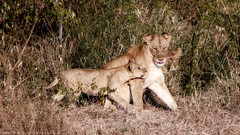 Here comes trouble (simonjmarlan) Tags: lions serengeti africa wildlife cute cats