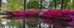 Still Pond Richmond Park (chris-gregory images) Tags: spring pink red park london azaleas flowers reflection green trees panorama pond water richmondpark stillpond
