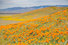 Orange and yellow layers (Squirrel Girl cbk) Tags: 2017 antelopevalleypoppyreserve california californiapoppies eschscholziacalifornica march orange superbloom yellow explore