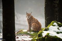 Lynx (Edoardo Brotto) Tags: lynx forest tree winter snow 500mm wildilfe