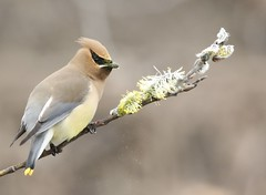Candy to the Cedar Waxwing (Jeannine St. Amour) Tags: bird cedarwaxwing nature wildlife spring ottawa