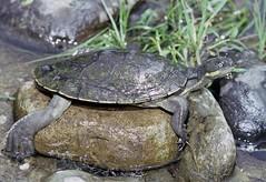 Bellinger River Snapping Turtle (Wollumbinia georgesi) (Gary Stephenson) Tags: bellingerriver bellingerriversnappingturtle bellingen threatenedspecies protectedwildlife wollumbiniageorgesi myucheleysgeorgesi