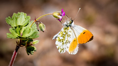 Little butterfly (Jean-Luc Peluchon) Tags: nature wild color flower wildlife flora macro lumix