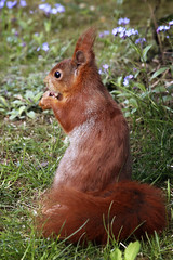 sonntagsfrühstück im grünen (bauingenieuse) Tags: frühstück breackfast curly tannenäffchen sonne sun sonnenaufgang sunrise boy junge eichhörnchen squirrel cute braun rot red brown garten garden frühling spring 2017 bauingenieuse süs outdoor germany ngc ncg canon 60d 200mm sitzen sitting tier animal love lovely nuss nut