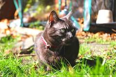 Spring Has Sprung.... (law_keven) Tags: cats cat animals mammals london england morden photography pets pet garden grass sunshine